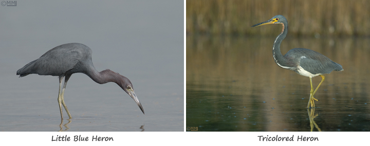 Comparision of Tricolored and Little Blue Heron