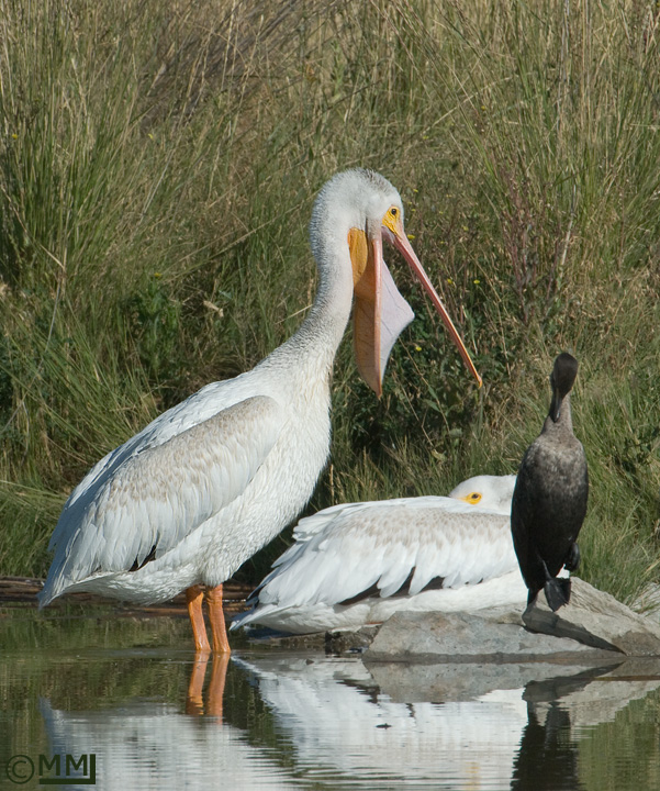 American White Pelican cleaning bill #3