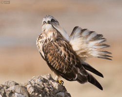 Preening Rough-legged Hawk