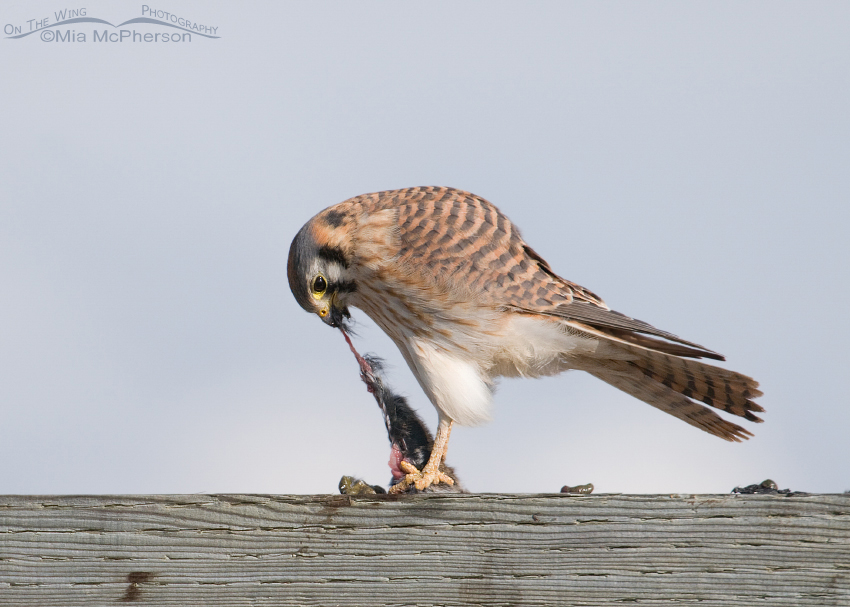Female American Kestrel (Falco sparverius) eating a vole