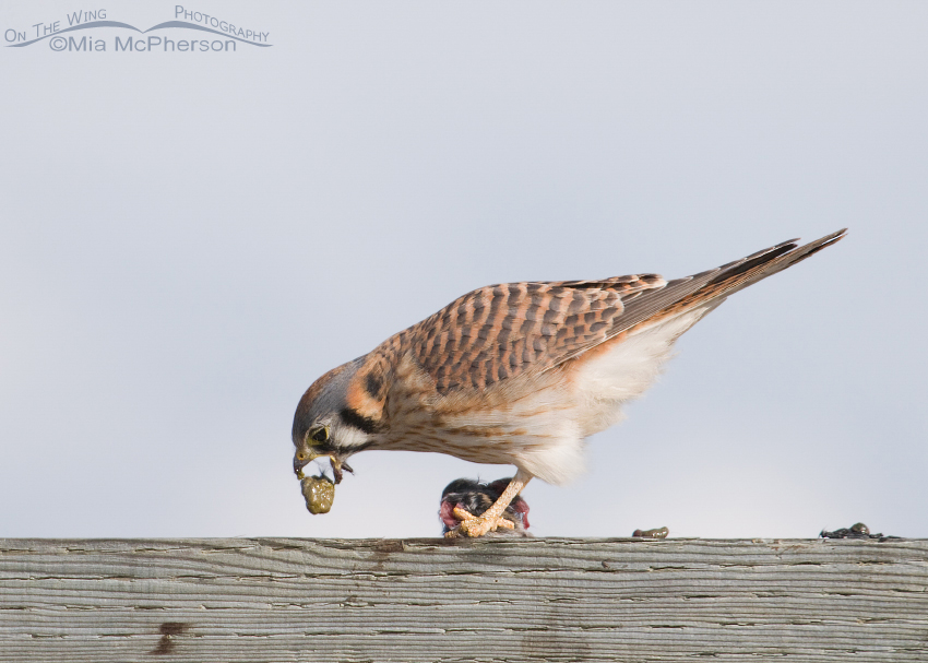 American Kestrel getting rid of the vole's intestines