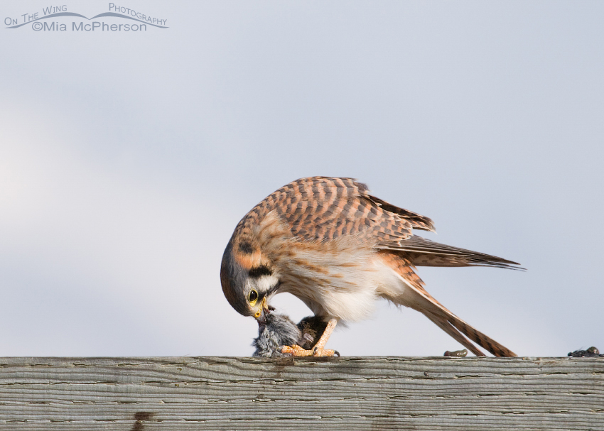 American Kestrel bending over her prey