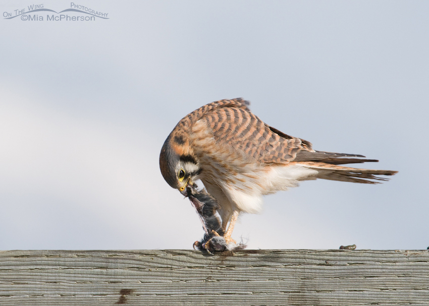 Kestrel tearing the vole
