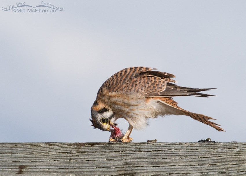 Female American Kestrel almost done with lunch