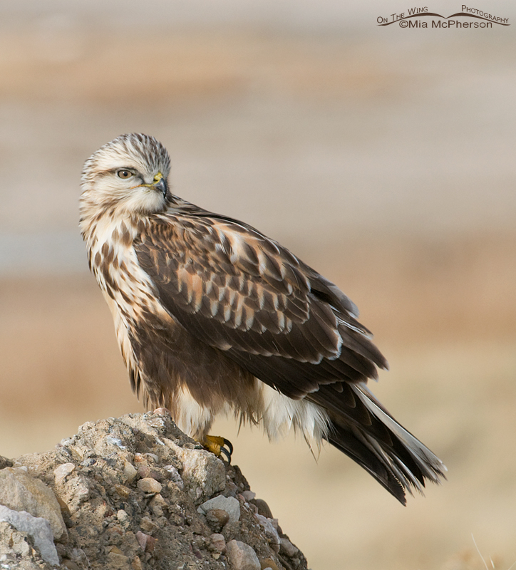 Side view of a Rough-legged Hawk with plus an over the shoulder look