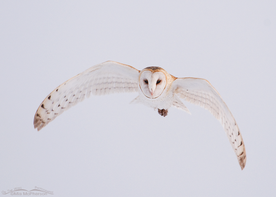Barn Owl in flight on a foggy morning