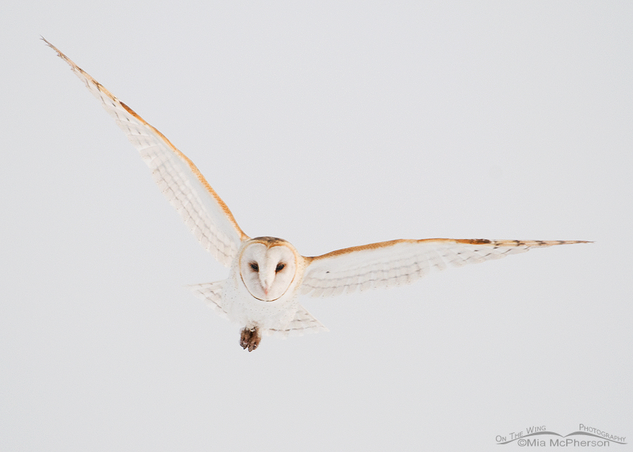Barn Owl flying in fog