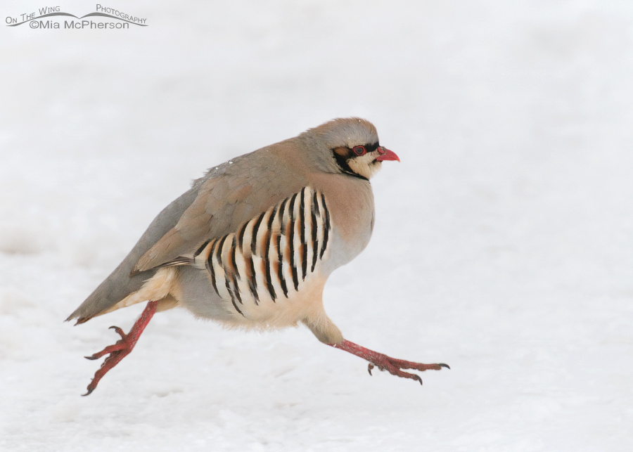 Chukar in the air