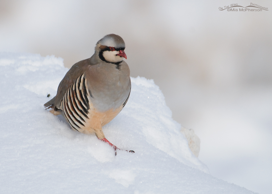 Chukar running down a snow-covered rock