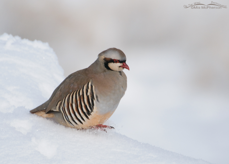 Chukar and flying snow