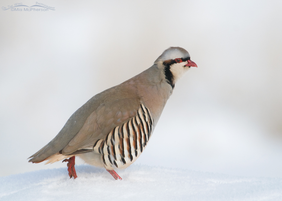 Chukar slowly walking in snow