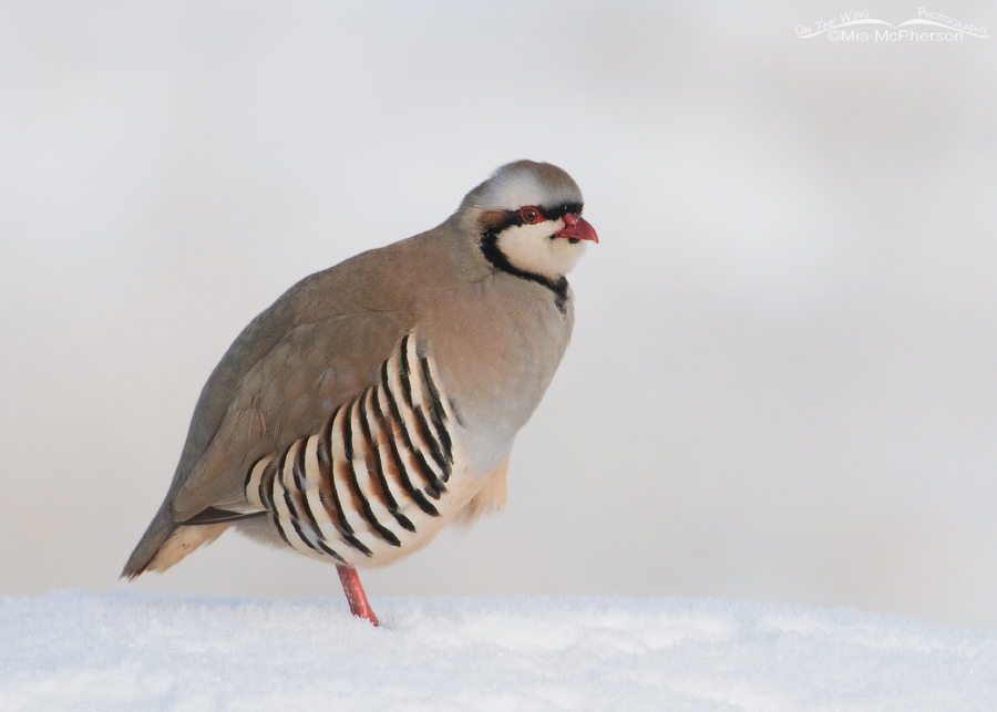 Chukar in the snow
