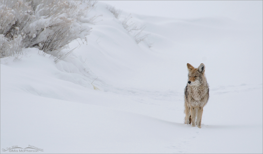 Coyote and snow drifts pano