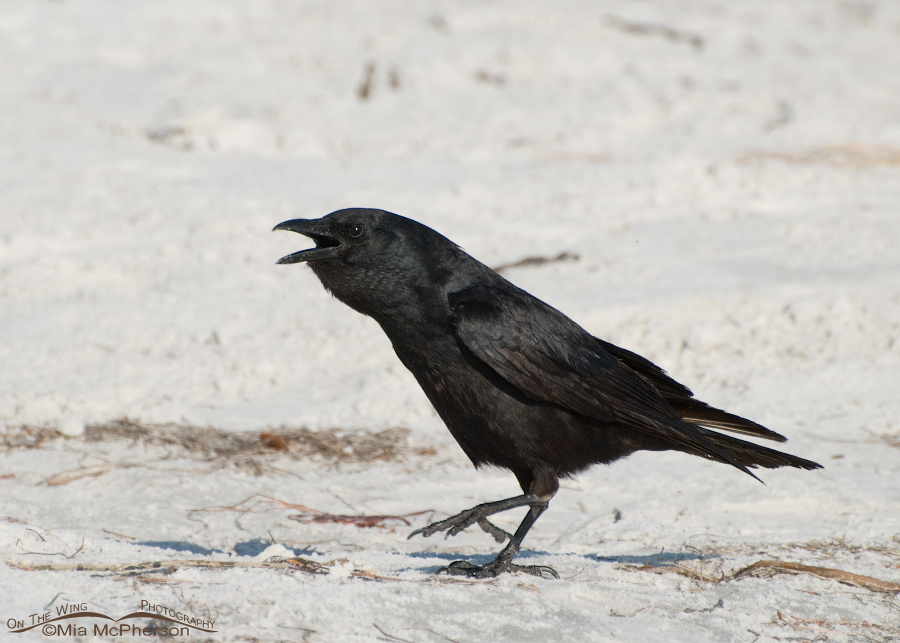 A Fish Crow calling