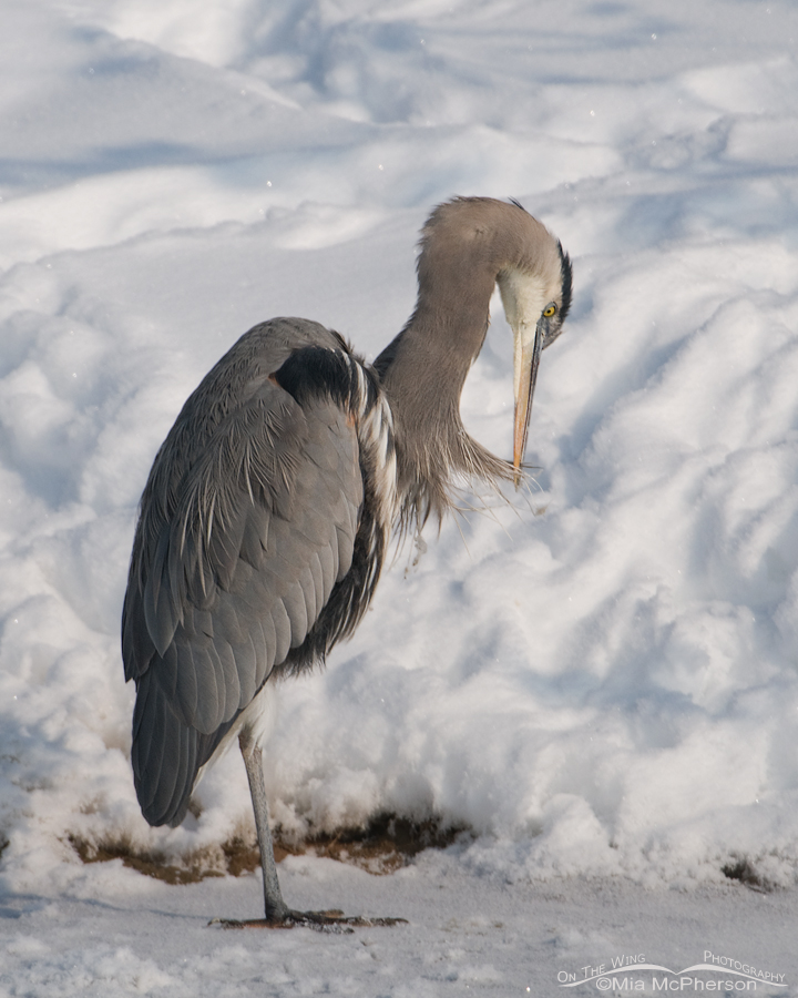 Great Blue Heron preening to remove ice
