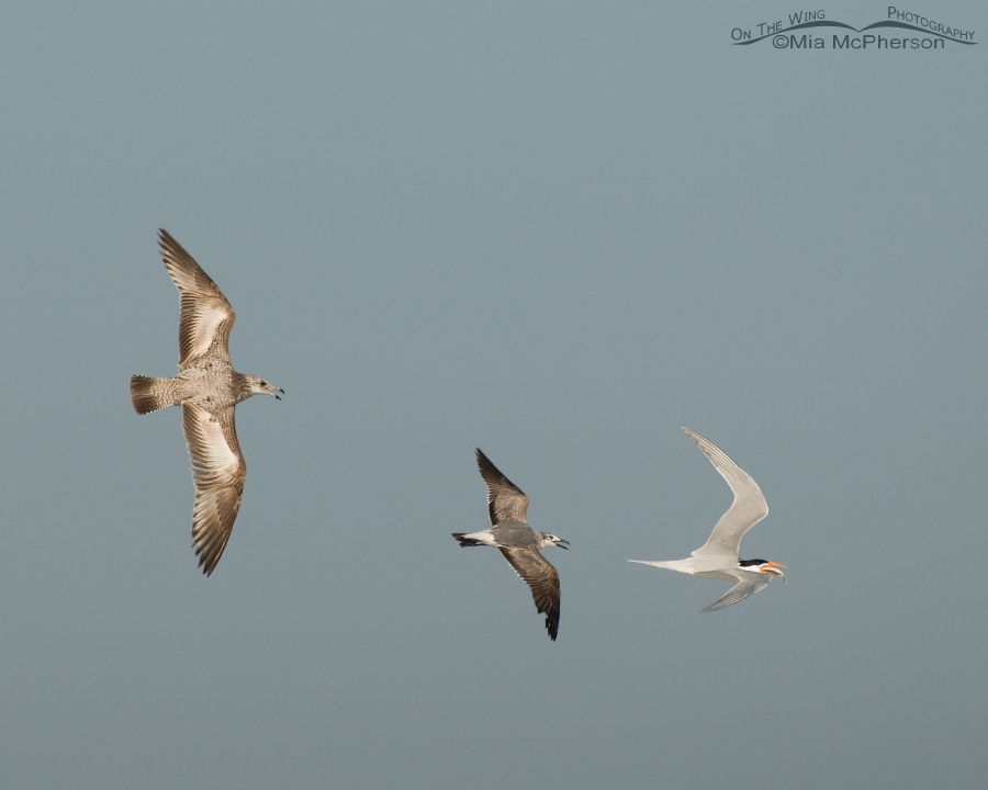 Mystery Gulls and Tern