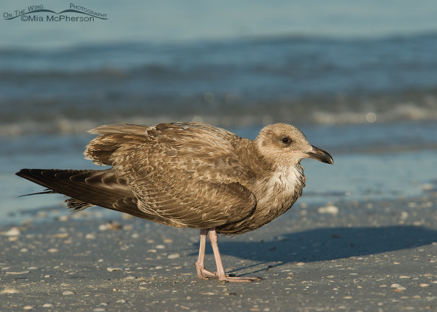 In Flight Juvenile Herring Gull Stock Photo | Getty Images
