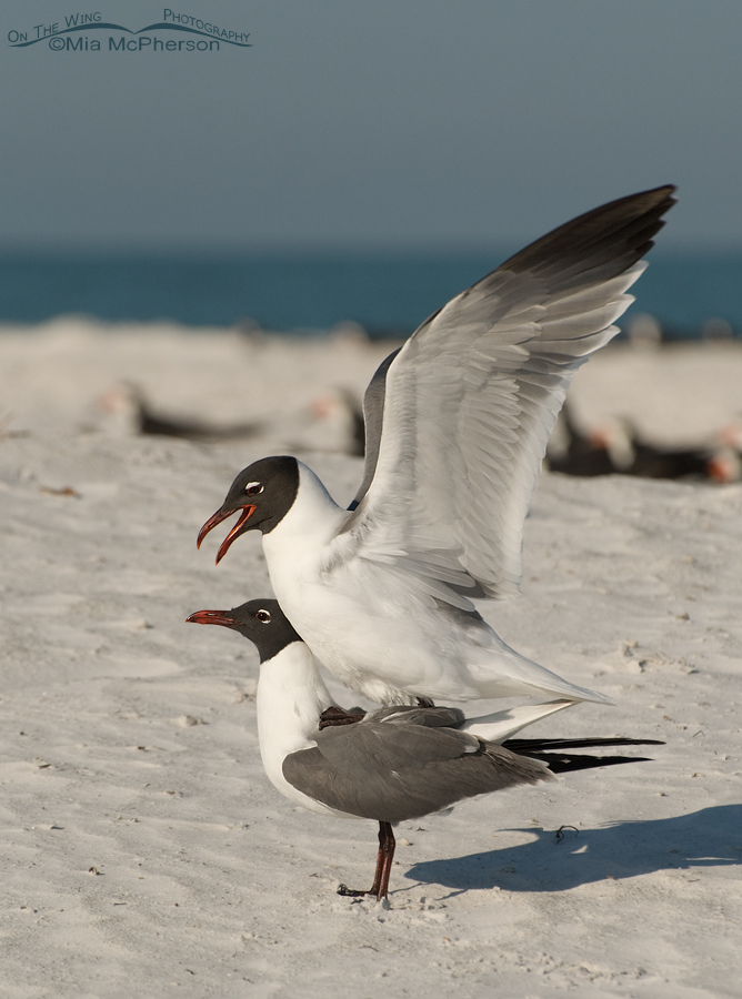 Mating Laughing Gulls