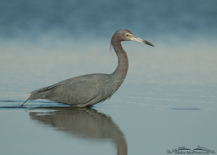 Little Blue Heron hunting in a lagoon