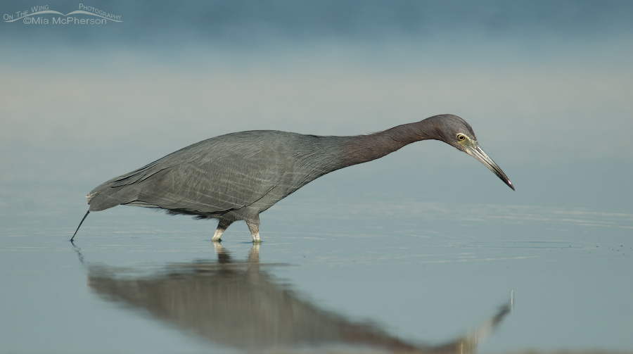 Little Blue Heron still hunting