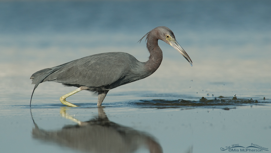 Little Blue Heron after missing prey