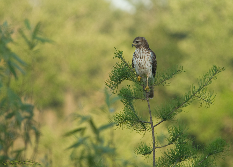 Juvenile Red-shouldered Hawk - Small in frame - Sawgrass County Park