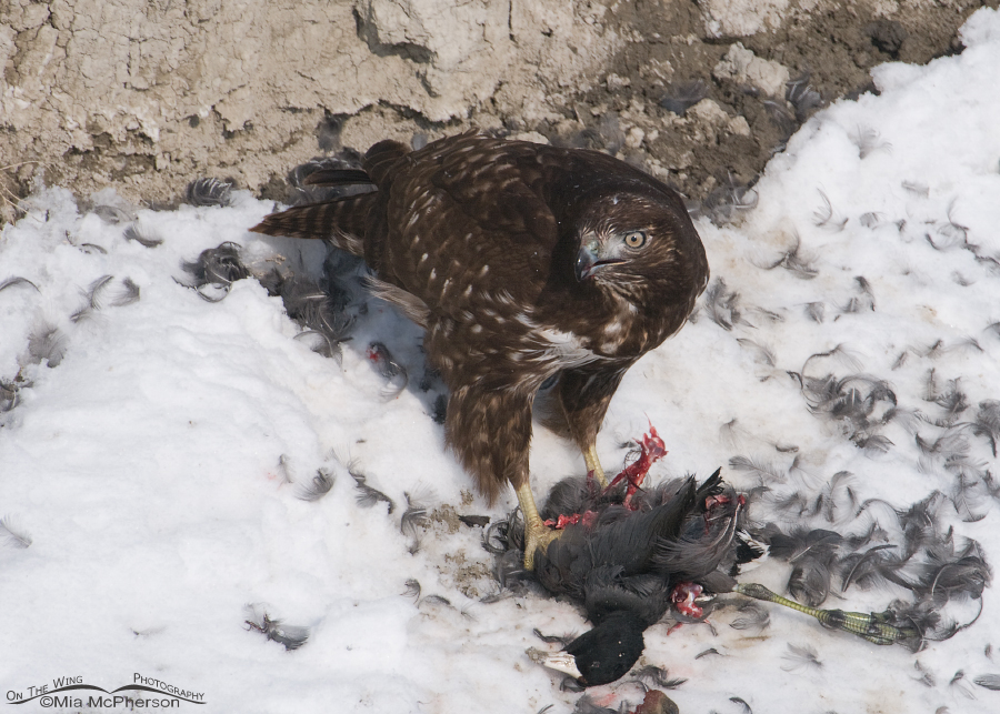 Harlan's Red-tailed Hawk juvenile with an American Coot