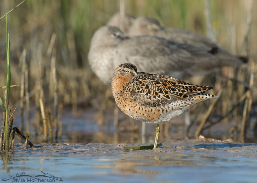 Resting Short-billed Dowitcher