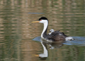 Western Grebe Images