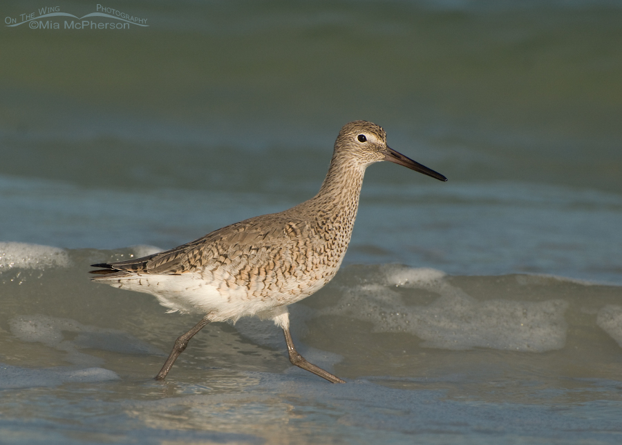 Foraging Willet