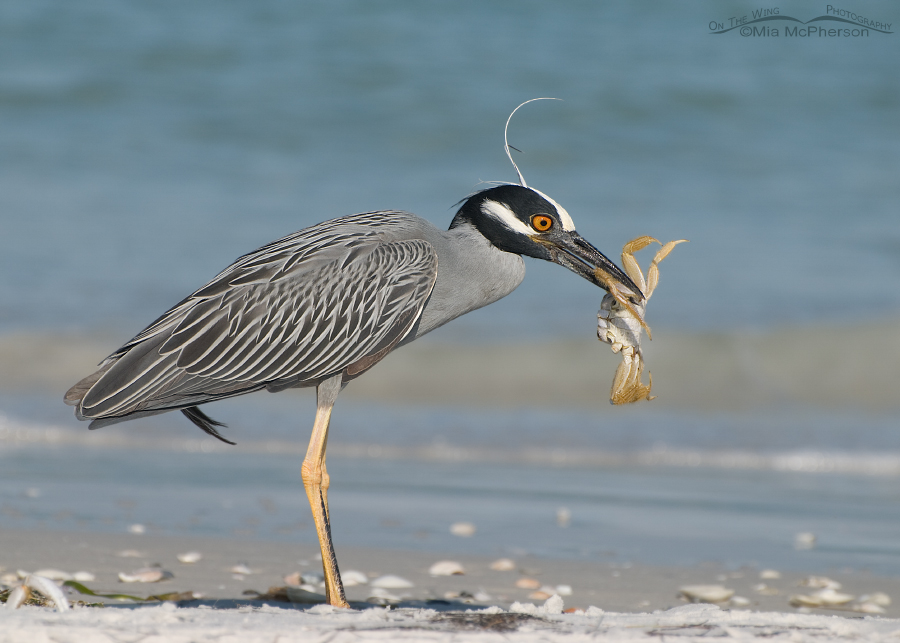 Yellow-crowned Night Heron feasting on a Ghost Crab