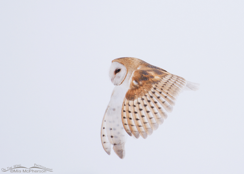 Barn Owl flying in the snow