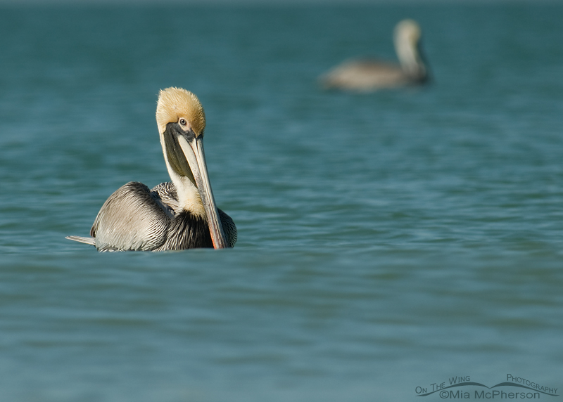 Brown Pelicans on the Gulf of Mexico