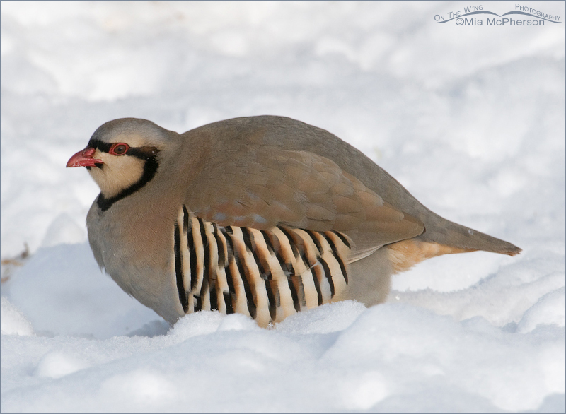 Chukar in clear light