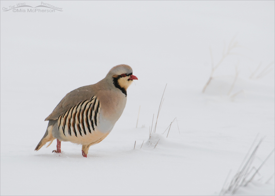 Chukar in low light