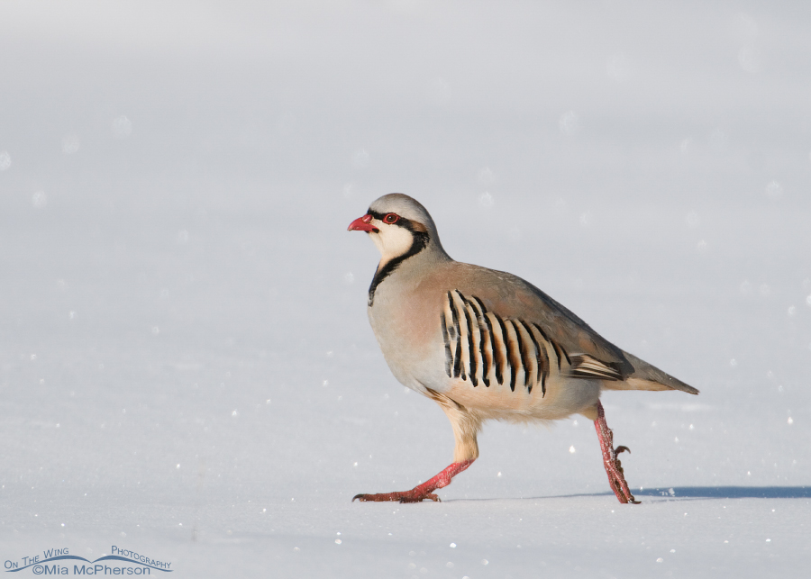 Chukar running in clear light