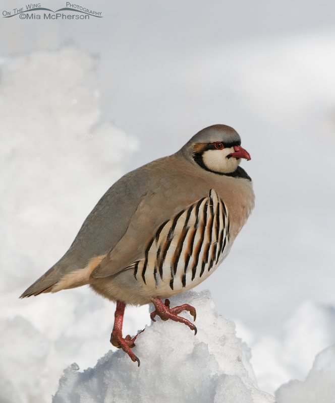Chukar on top of a mound of snow