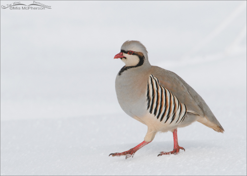 Chukar - High Key