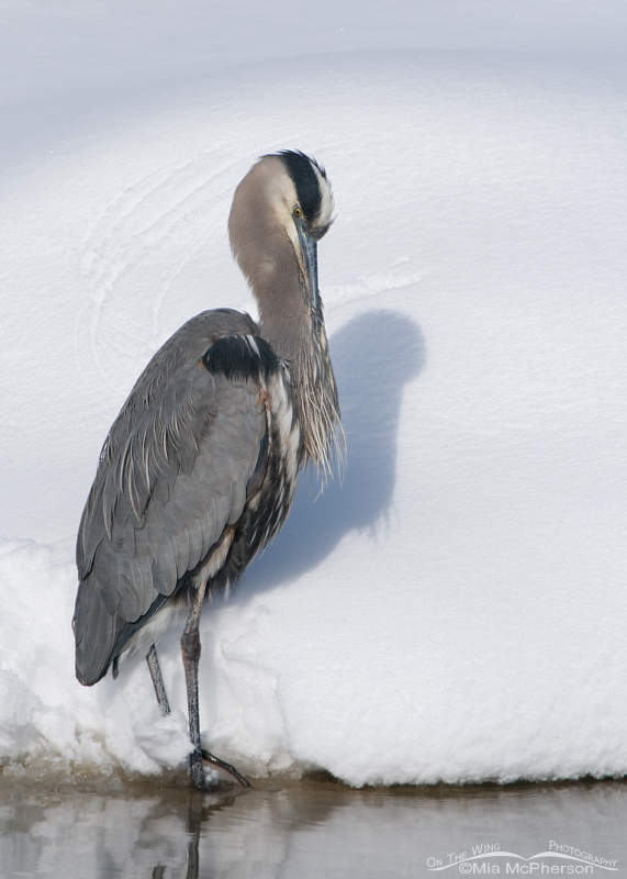 Great Blue preening in the snow