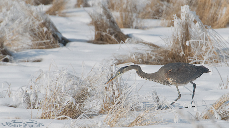 Great Blue Heron hunting voles in winter