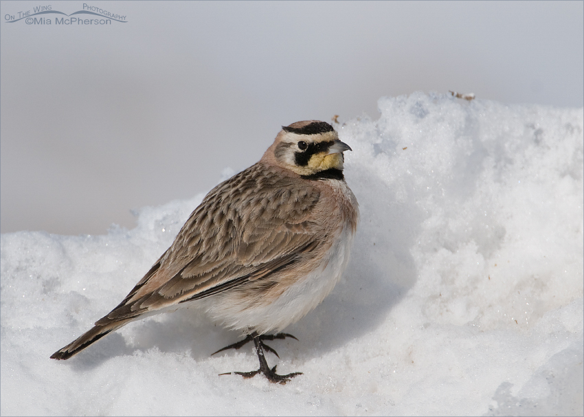 Horned Lark on a snow bank