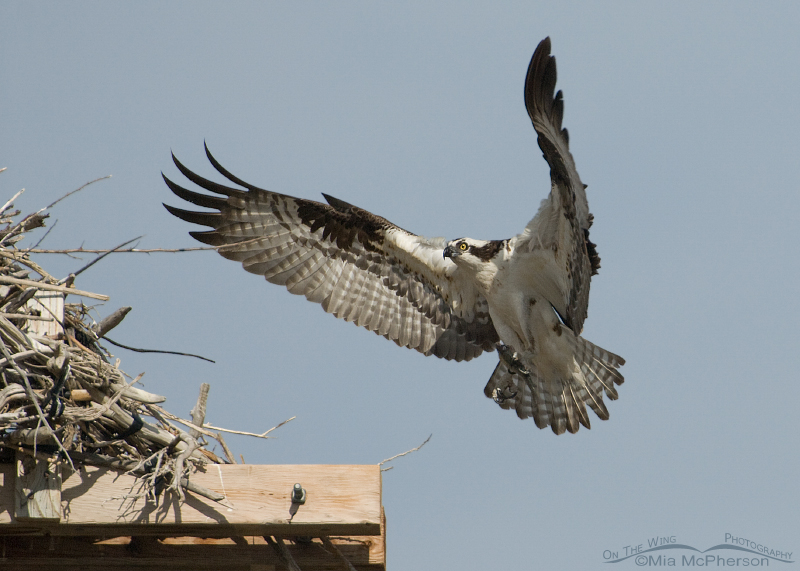 Male Osprey about to land with prey