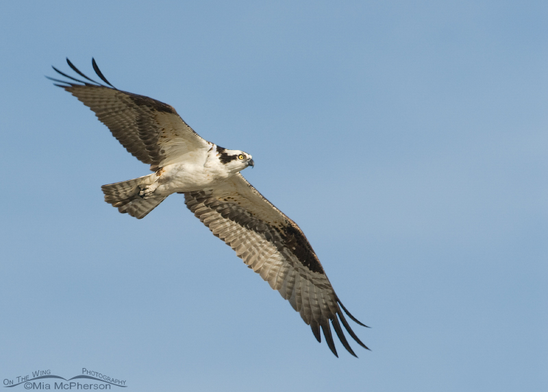 Male Osprey fly by