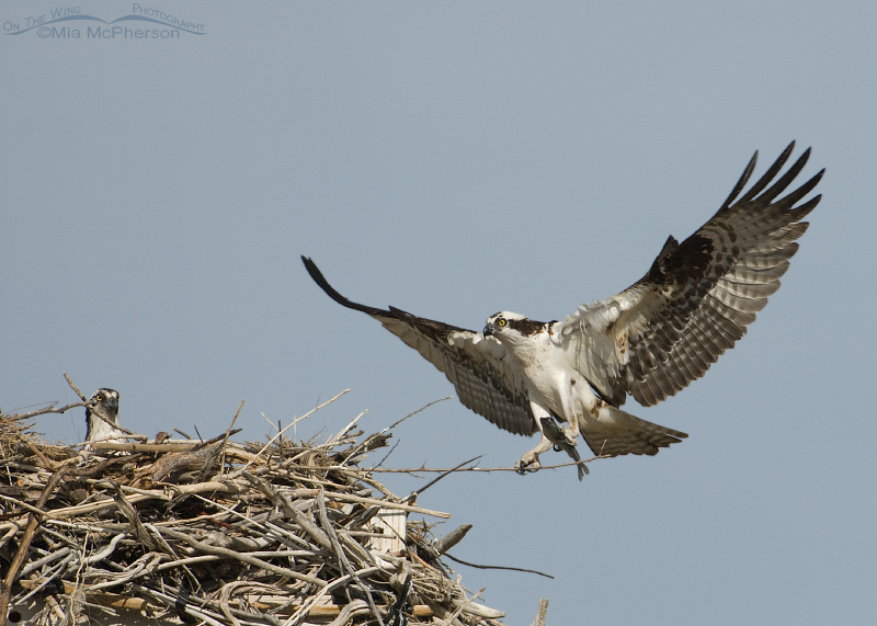 Male and female Osprey at the nest