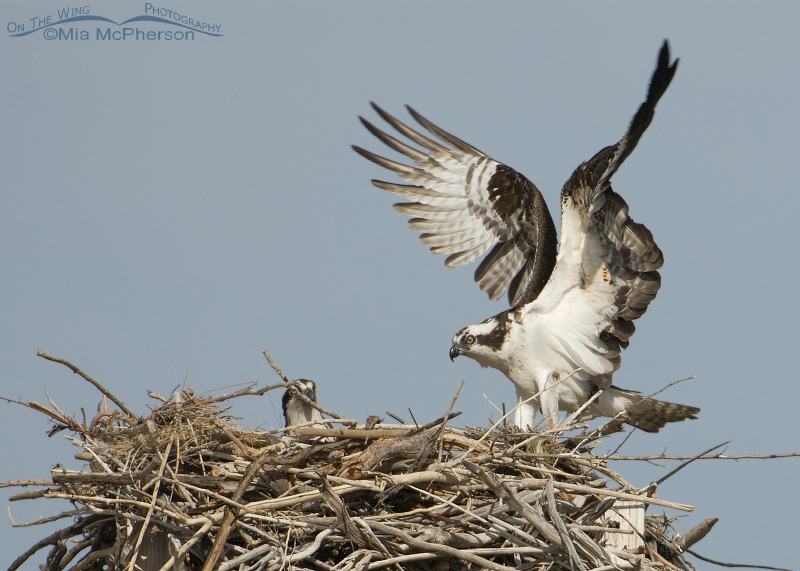 Male Osprey with wings flared