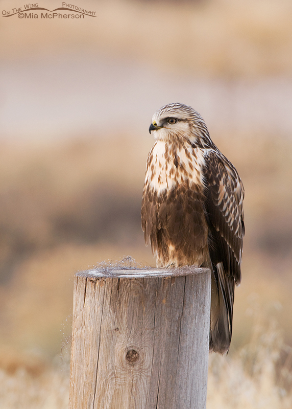 Rough-legged Hawk perched on post with Bison fur