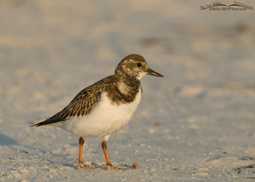 Ruddy Turnstone in early morning light