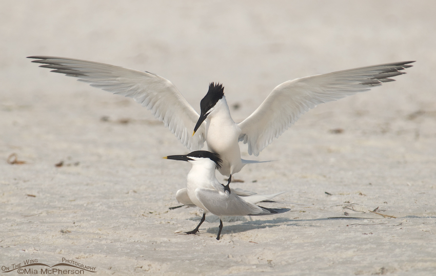 Sandwich Terns - Love is in the air
