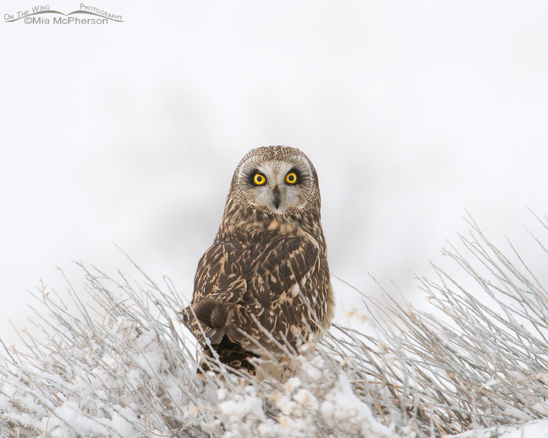 Short-eared Owl in a winter fog