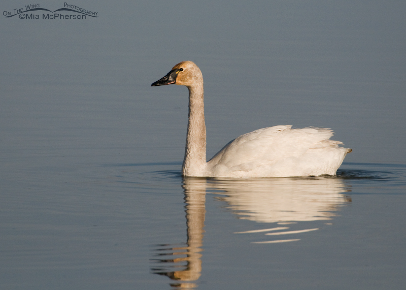 Tundra Swan at Bear River NWR